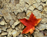 Maple leaf on cracked stone Royalty Free Stock Image