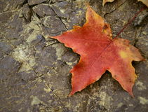 Maple leaf on stone Stock Photography