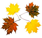 Colored maple leaves. Close up of four maple leaves various colors Stock Images