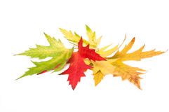Colored maple leaves. autumn. Royalty Free Stock Image