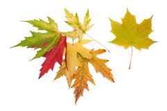 Colored maple leaves. autumn. Royalty Free Stock Photo
