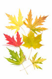 Colored maple leaves. autumn. Royalty Free Stock Images