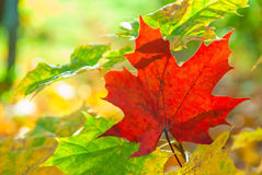 Colored maple leaves in autumn Stock Image