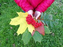 Autumn bouquet in the hands of a child royalty free stock photos
