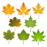 Colored maple leaves. Collection of yellow and green maple leaves Royalty Free Stock Photo