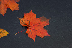 Colored maple leaves floating in a puddle during autumn rain. Brightly colored maple leaves floating in a puddle during autumn rain royalty free stock images