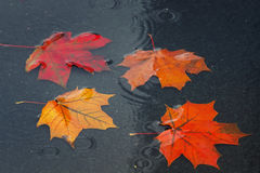 colored maple leaves floating in a puddle during autumn rain Stock Photography
