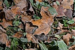 Colored maple leaves. Frosty brown autumn leaves. Natural environment background stock photography