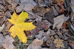 Colored maple leaves. Frosty brown autumn leaves. Natural environment background. Colored maple leaves. Frosty Yellow autumn leaves. Natural environment royalty free stock photos