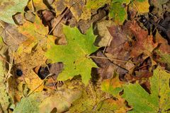 Colored maple leaves. Frosty Yellow autumn leaves. Natural environment background. Colored maple leaves. Frosty Yellow autumn leaves. Natural environment royalty free stock photography