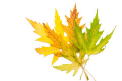 Colored maple leaves Stock Photo
