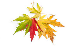 Colored maple leaves Royalty Free Stock Photography