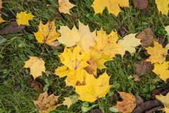 Colored maple leaves. Yellow autumn leaves. Natural environment background. Colored maple leaves. Yellow autumn leaves. Natural environment background stock photography