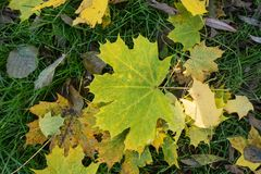 Colored maple leaves. Yellow autumn leaves. Natural environment background. Colored maple leaves. Yellow autumn leaves. Natural environment background stock photo