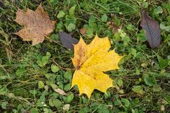 Colored maple leaves. Yellow autumn leaves. Natural environment background. Colored maple leaves. Yellow autumn leaves. Natural environment background royalty free stock photos