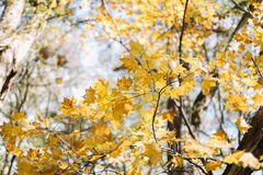 Colored maple leaves. Yellow maple leaf in autumn royalty free stock photos
