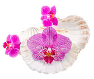 Colored, mauve, purple, yellow, pink, orchid flowers and sea shells, isolated, cutout, Orhideea Phalaenopsis Stock Images