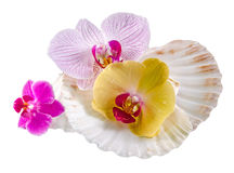 Colored, mauve, purple, yellow, pink, orchid flowers and sea shells, isolated, cutout, Orhideea Phalaenopsis Royalty Free Stock Photography