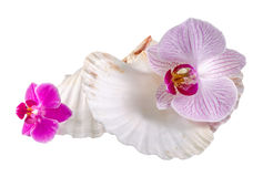 Colored, mauve, purple, yellow, pink, orchid flowers and sea shells, isolated, cutout, Orhideea Phalaenopsis Stock Photo