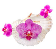 Colored, mauve, purple, yellow, pink, orchid flowers and sea shells, isolated, cutout, Orhideea Phalaenopsis Stock Photos