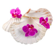 Colored, mauve, purple, yellow, pink, orchid flowers and sea shells, isolated, cutout, Orhideea Phalaenopsis Royalty Free Stock Photo