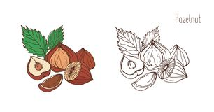 Colored and monochrome drawings of hazelnut with leaves. Delicious edible drupe or nut hand drawn in elegant vintage. Style. Natural vector illustration Royalty Free Stock Photos