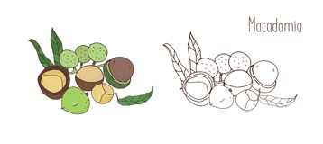 Colored and monochrome drawings of macadamia in shell and shelled with leaves. Delicious edible drupe or nut hand drawn. In elegant vintage style. Natural Royalty Free Stock Photo