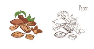 Colored and monochrome drawings of pecan in shell and shelled with leaves. Delicious edible drupe or nut hand drawn in. Elegant vintage style. Natural vector Royalty Free Stock Photos