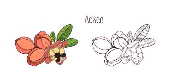 Colored and monochrome drawings of whole and split ackee with leaves. Delicious ripe edible exotic fruits of tropical. Plant hand drawn in elegant style Royalty Free Stock Photography