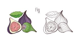 Colored and monochrome outline drawings of whole and cut fig isolated on white background. Bundle of delicious ripe. Fresh exotic tropical fruits, wholesome Royalty Free Stock Image