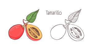 Colored and monochrome outline drawings of whole and cut tamarillo isolated on white background. Set of exotic edible. Fruit, fresh exotic vegetarian food Royalty Free Stock Photo