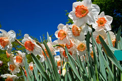 Colored narcissus Royalty Free Stock Images