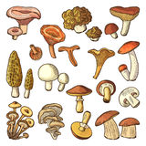 Colored nature vector illustrations of mushrooms. Truffles, slippery and chanterelle Stock Image