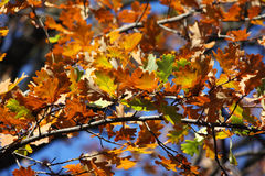 Colored oak leafs. On a tree stock photography