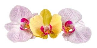 Colored orchid flowers, mauve, yellow, pink, purple, Orhideea Phalaenopsis Stock Photos