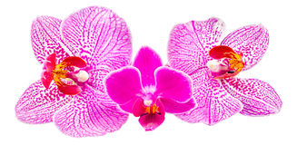 Colored orchid flowers, mauve, yellow, pink, purple, Orhideea Phalaenopsis Royalty Free Stock Photos