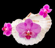 Colored orchid flowers and sea shells Royalty Free Stock Images