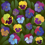 Colored pansy flowers on background of leaves.  Royalty Free Stock Images