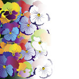 Colored pansy flowers on white background.  Stock Photos
