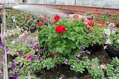 Colored Petunia and pelargonium. Stimoryne. Field of red, purple, pink, white, green and white petunias and geranium for sale. Han. Ging pots with flowers stock images
