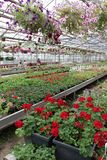 Colored Petunia and pelargonium. Stimoryne. Field of red, purple, pink, white, green and white petunias and geranium for sale. Han. Ging pots with flowers stock photos