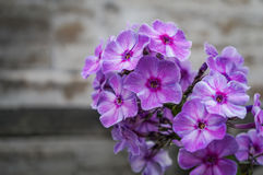 Colored Phlox in the flower bed bloom in summer. Royalty Free Stock Images
