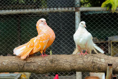 Colored pigeons. Sitting on branch, Thailand Stock Photos