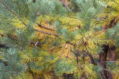 Colored pine branches Stock Photos