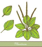 Colored Plantain in Hand Drawn Style. Vector Illustration of Medicinal Plant Royalty Free Stock Images