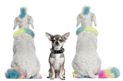 Colored poodles with mohawks and Chihuahua Royalty Free Stock Images
