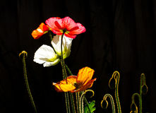 Colored Poppies in Silhouette Stock Photos