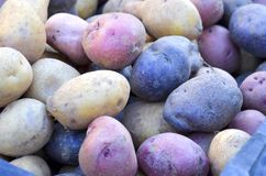 Colored Potatoes Royalty Free Stock Images