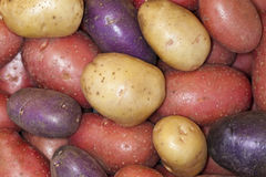 Colored potatoes Stock Image