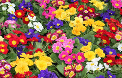 Colored primroses during the first days of spring Stock Image